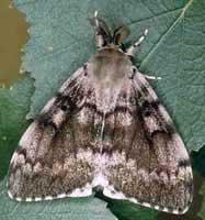 Gubar (Lymantria dispar L.)